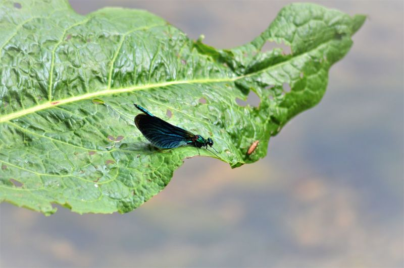 Blue Tones Focus Object Innocence Teal Wildlife & Nature Beauty In Nature Damselfly Fragile Beauty Insect Leaf Perched On A Leaf