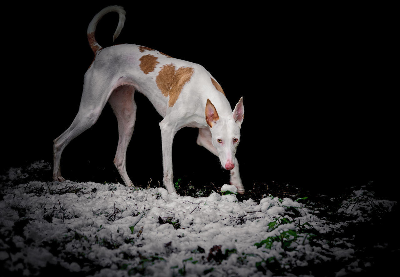Animal Black Background Dog Ibizan Hound Mammal No People Pet Podenco Ibicenco