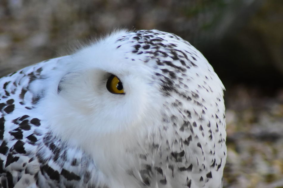 Alertness Animal Head  Bird Close-up Focus On Foreground No People Snowy Owl Softness Wildlife Bubo Scandiacus