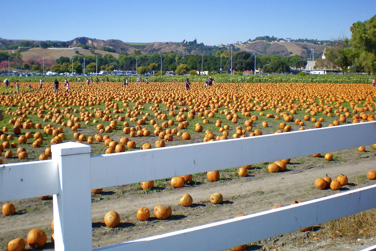 Abundance Of EyeEm Nature Lover Fresh Air And Sunshine Orange - Fruit Pomona College Pumpkin Patch Pumpkins! Still Life