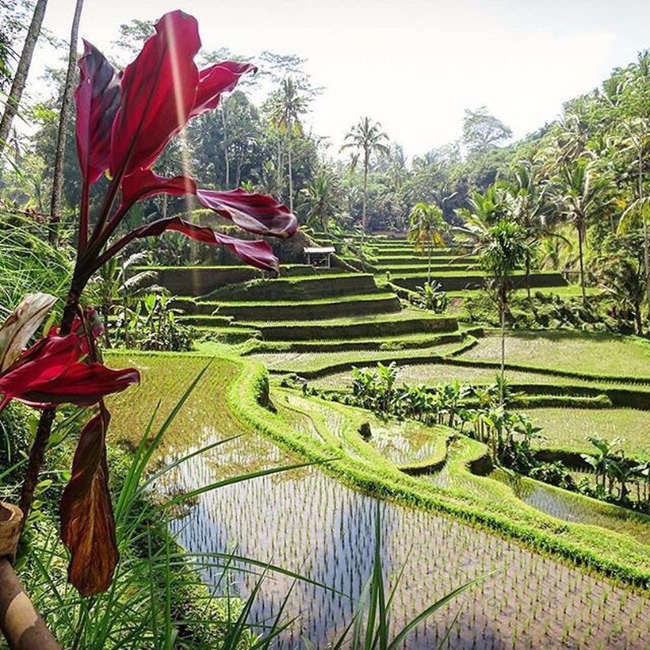 INDONESIA Indonesia_photography Agriculture Rice Paddy Growth Landscape Outdoors Scenics Terraced Field Beauty In Nature Sky Day Tree No People Miles Away Travel Photography Travelling Bali Bali, Indonesia Balinese Ubud Ubud, Bali