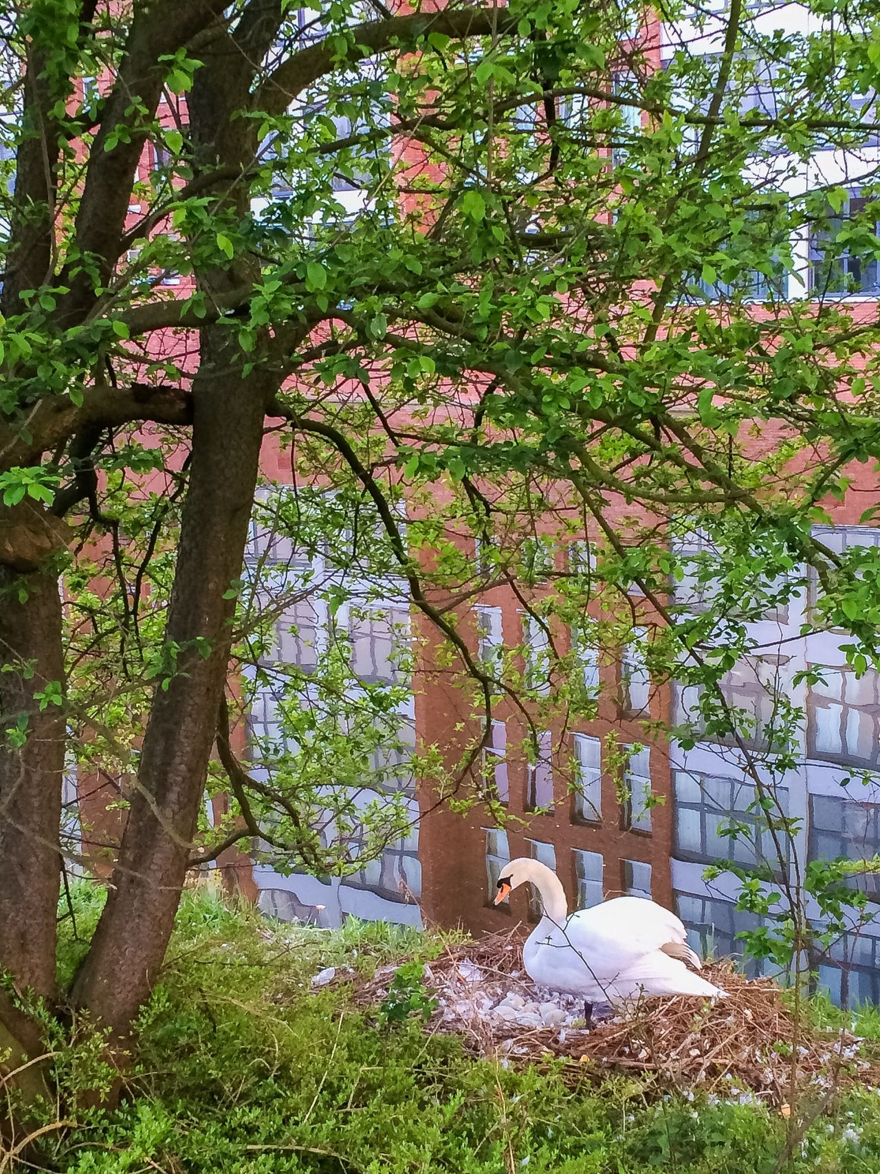 Showcase April Swan Swan Nest Nest Swan Eggs Eggs In The Nest Feathers Tree Buildings Building Reflections Reflection Water Water Reflections