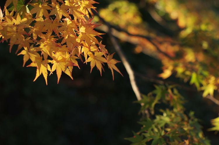 天龍寺 紅葉2016 紅葉🍁 紅葉 Nature_collection Nature Photography Autumn Beauty In Nature Nature Maple Leaf