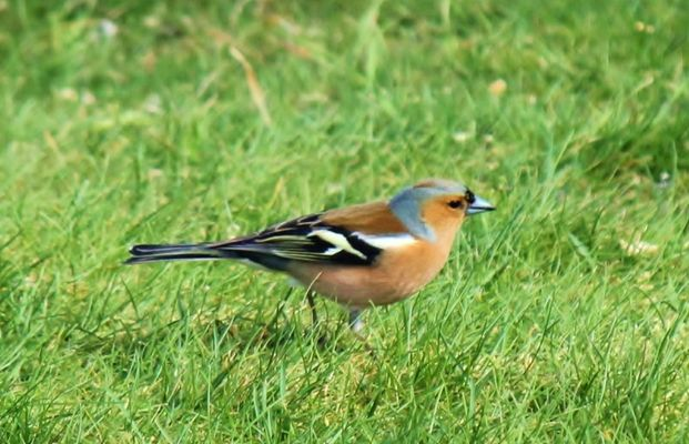 chaffinch by tonie wright