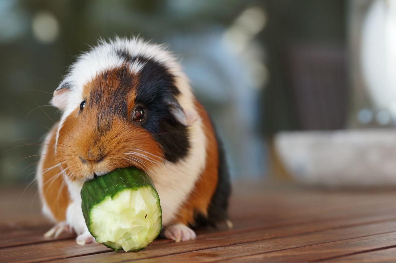 Beautiful stock photos of guinea-pigs, Animal Themes, Close-Up, Cucumber, Day