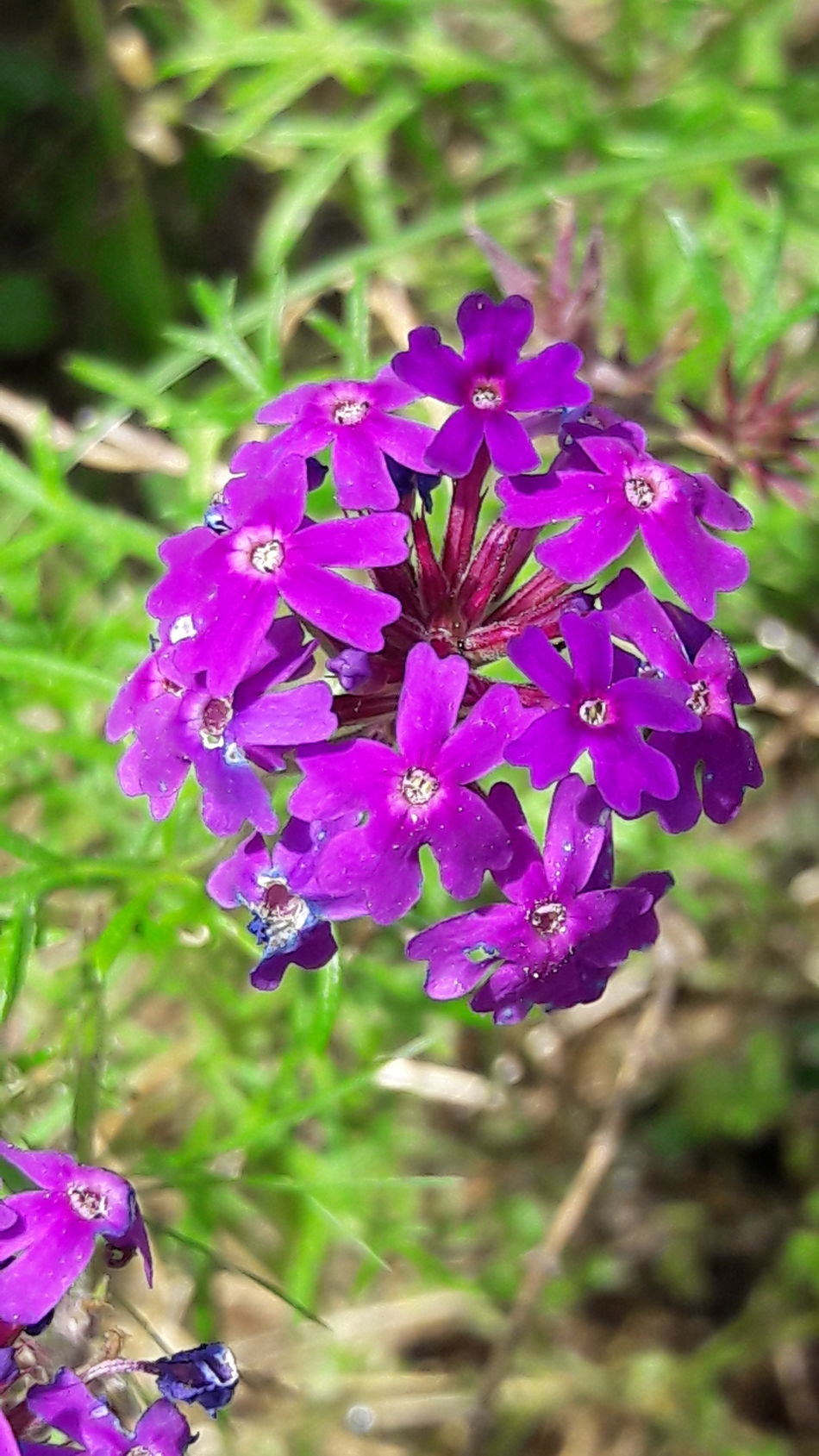 And then there's purple... 💜💜💜 Flower Purple Nature Freshness Beauty In Nature Flower Head Petal Fragility Plant Close-up Growth Outdoors Blooming No People Day On My Street Popular Photos Flower Photography Flower Collection Beauty In Nature Flowers Springtime Spring Flowers