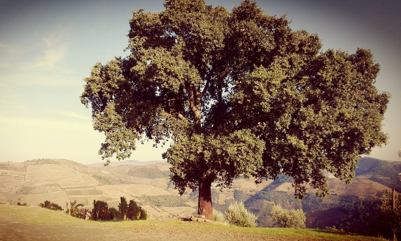 Tree Nature No People Beauty In Nature Wine Vinyard Trás Os Montes Dourovalley Rural Scene Agriculture Douro  Beauty In Nature