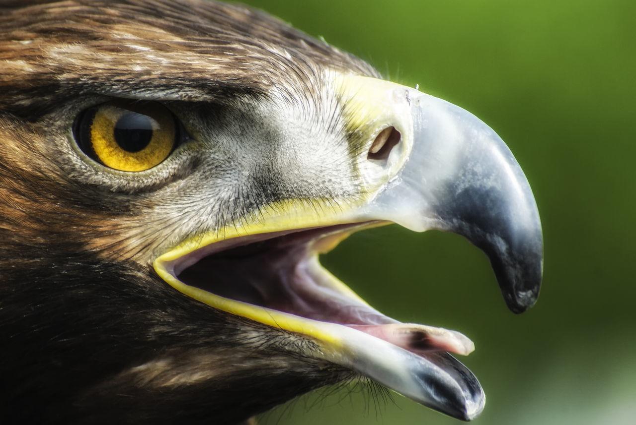 Beautiful stock photos of adler, Animal Eye, Animal Themes, Animal Wildlife, Animals In The Wild