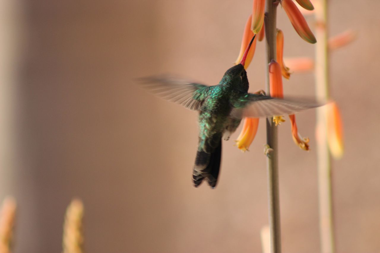 Beautiful stock photos of hummingbird, Animal, Animal Themes, Avian, Bird