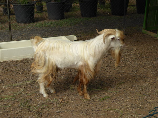 Animal Themes Day Domestic Animals Goat Goat Kid Goat Livestock Mammal No People One Animal Outdoors Sheep White Color