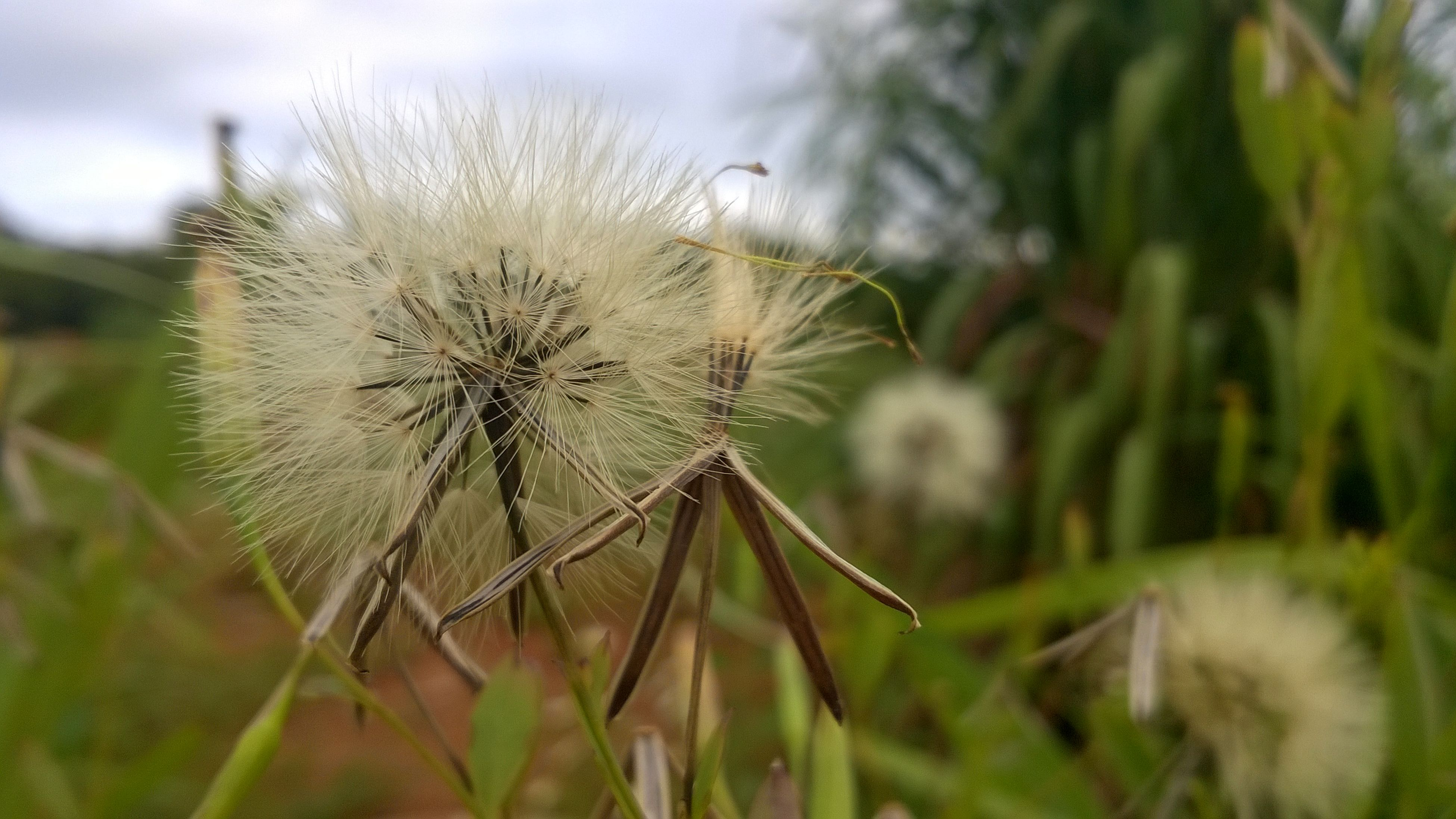 dandelion, flower, fragility, growth, focus on foreground, close-up, freshness, dandelion seed, flower head, nature, stem, beauty in nature, plant, single flower, softness, uncultivated, wildflower, selective focus, field, thistle