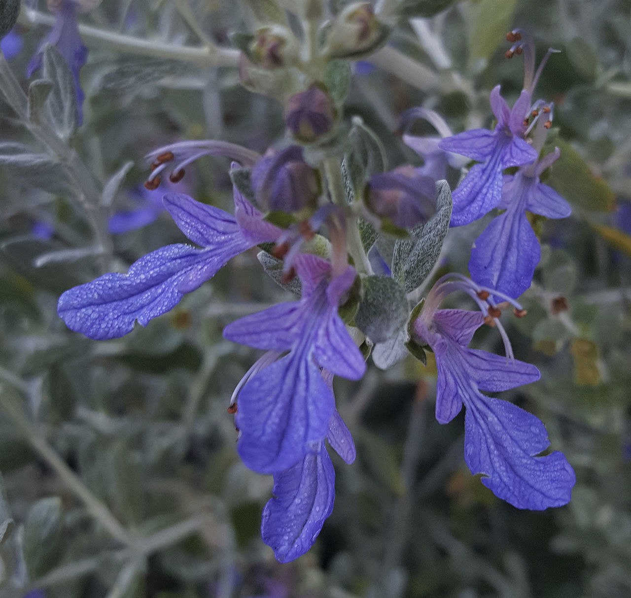 Botany Brooding Close-up Flower Gray Foliage No People Purple Rich Colors