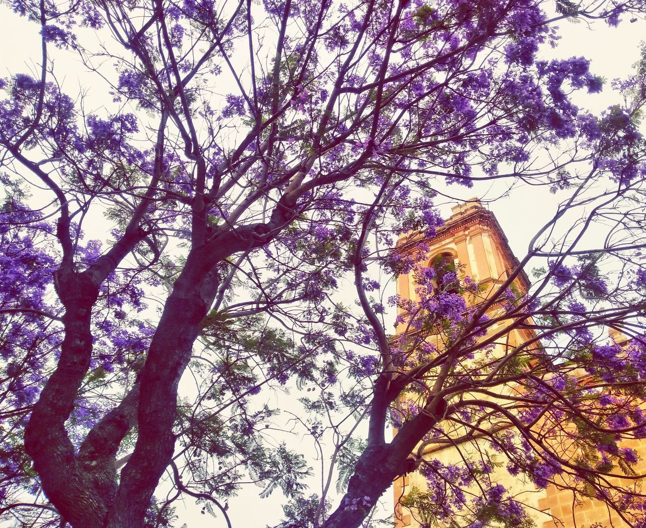 Purple life Tree Low Angle View Day Branch Beauty In Nature Sky Growth Purple Flower Purple Colour Of Life Colours Of Nature Church SPAIN Denia Denia-valencia Spain♥
