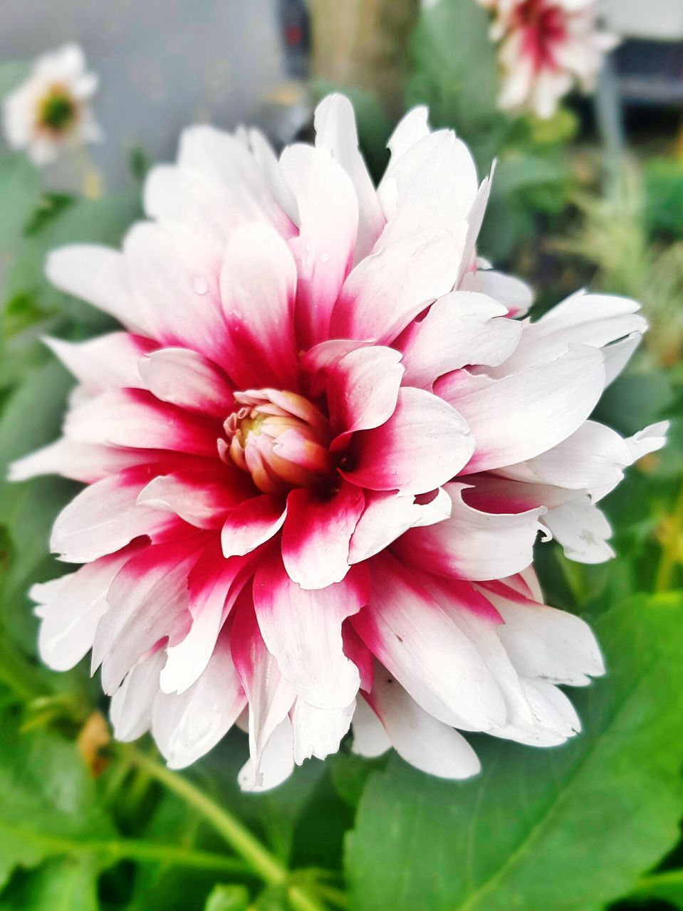 Close-Up Of Red And White Dahlia