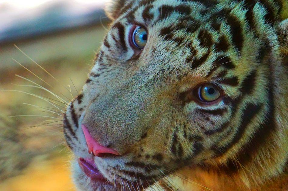 Beautiful stock photos of tiger, Animal Themes, Animal Wildlife, Animals In The Wild, Close-Up