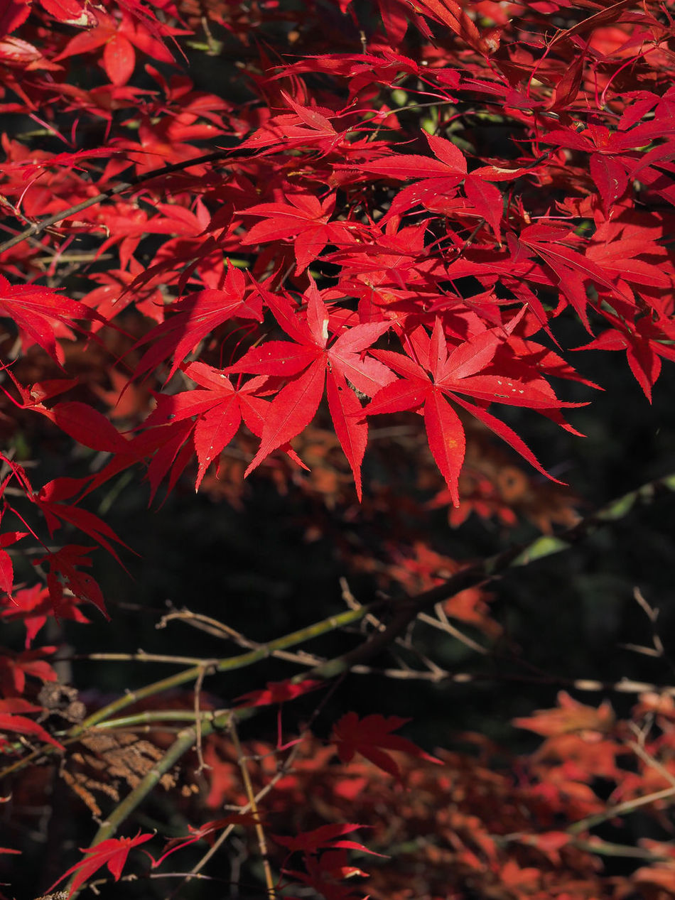 Autumn Beauty In Nature Black Blackandwhite Branch Close-up Day Fashion Growth Leaf Map Maple Maple Leaf Nature No People Outdoors Red Tree