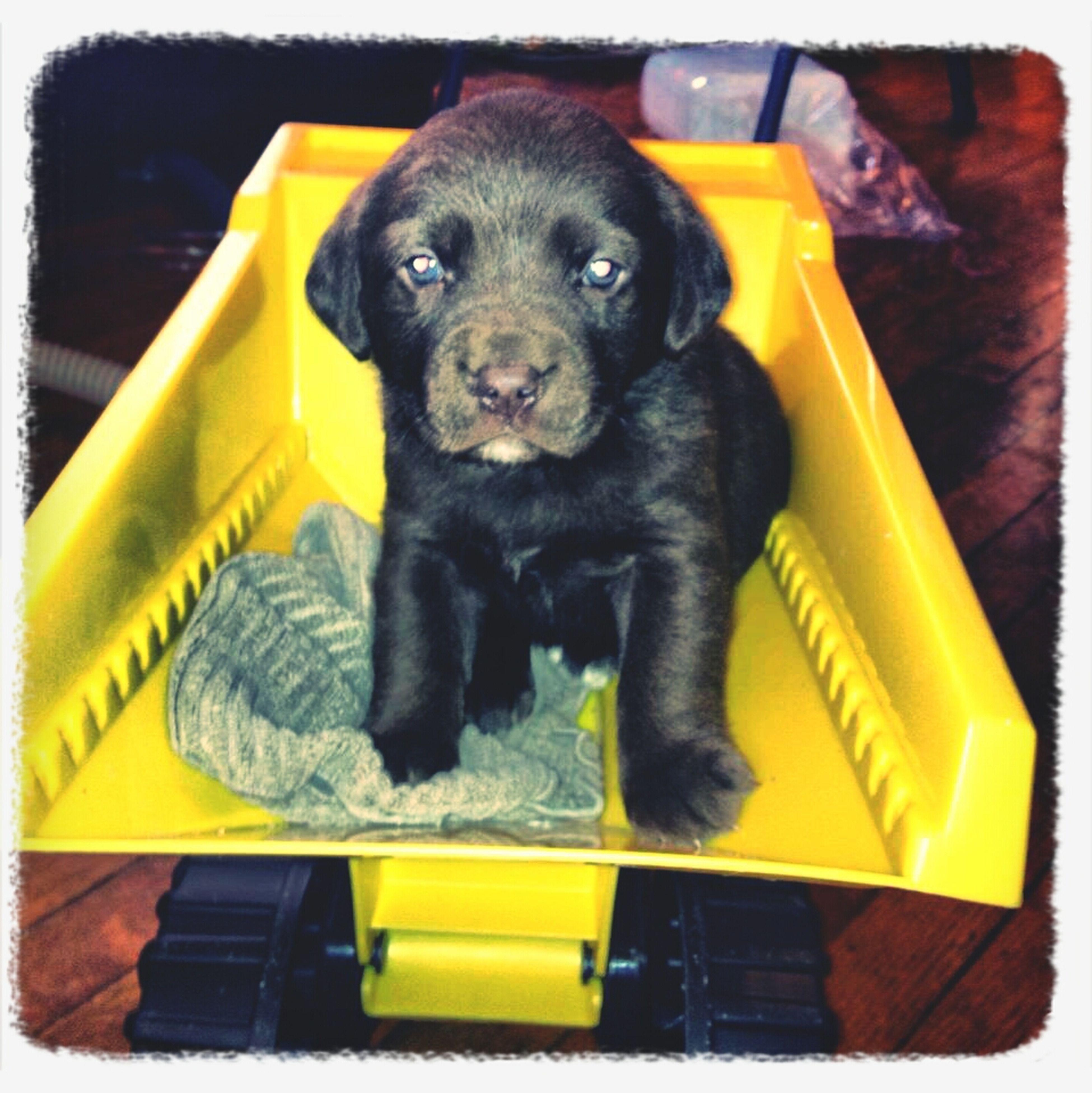 Puppy In A Dump Truck