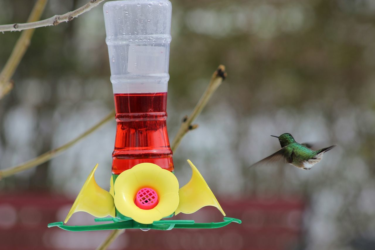 Hummingbird A survivor of the may 17 2015 snow blizzard. Prairie Scenes Birds Nature
