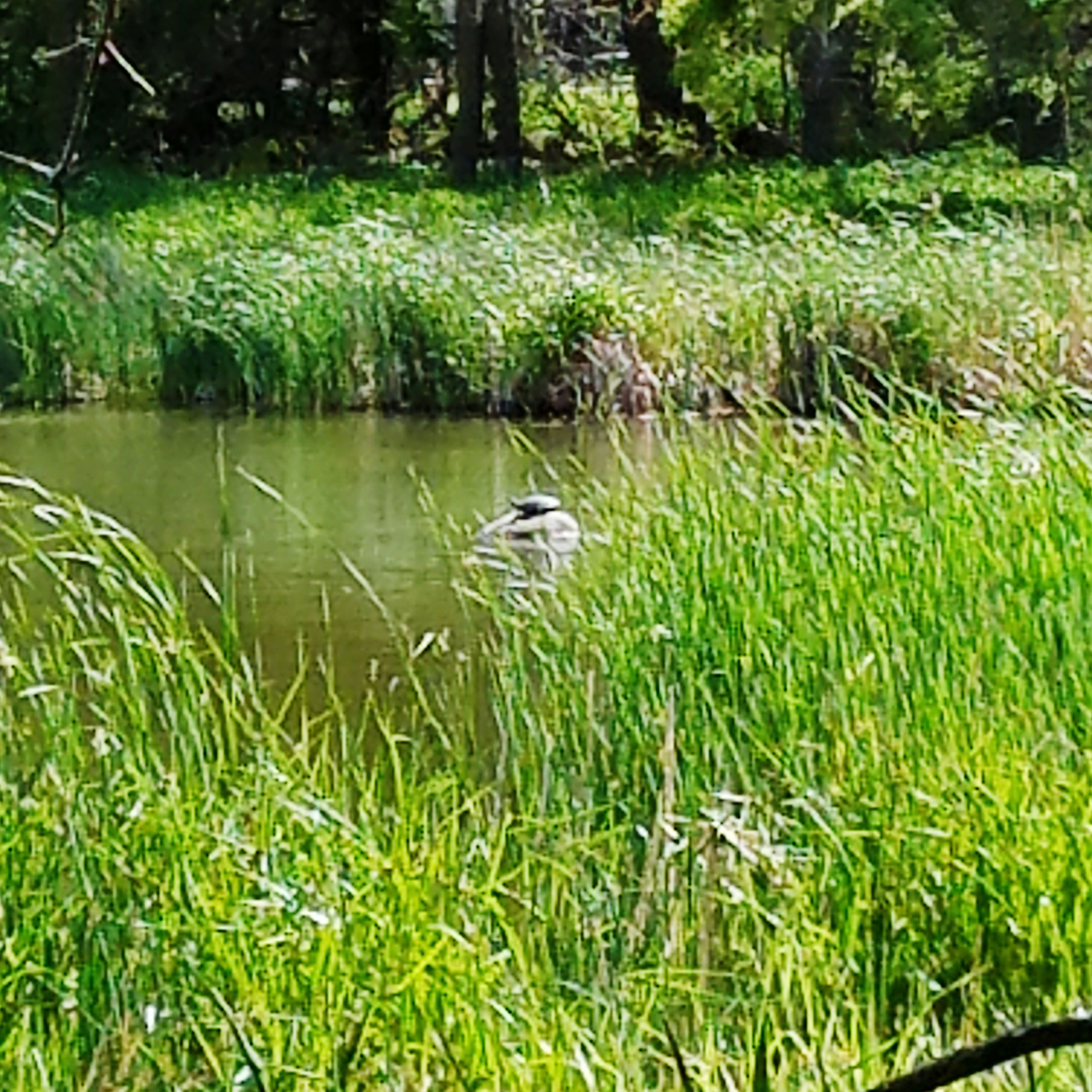 one animal, grass, bird, animals in the wild, animal themes, nature, green color, animal wildlife, water, growth, no people, day, outdoors, lake, plant, beauty in nature, swimming