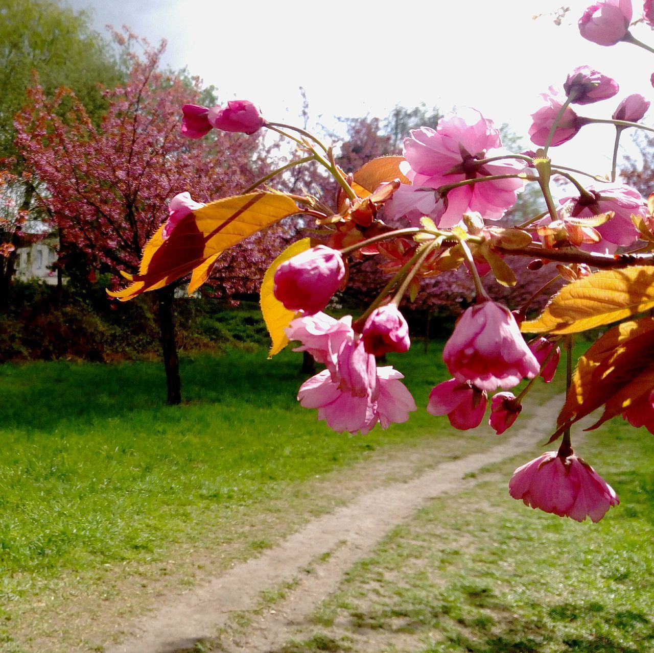 Growth No People Beauty In Nature Hanging Outdoors Tree Nature Day Plant Pink Color Flower Branch Freshness Sky Close-up Spring Time Cherry Blossoms Cherry Tree Pinkflower Pink In Nature Simple Things In Life Taking Photo Beauty In Ordinary Things Flower Head Fragility