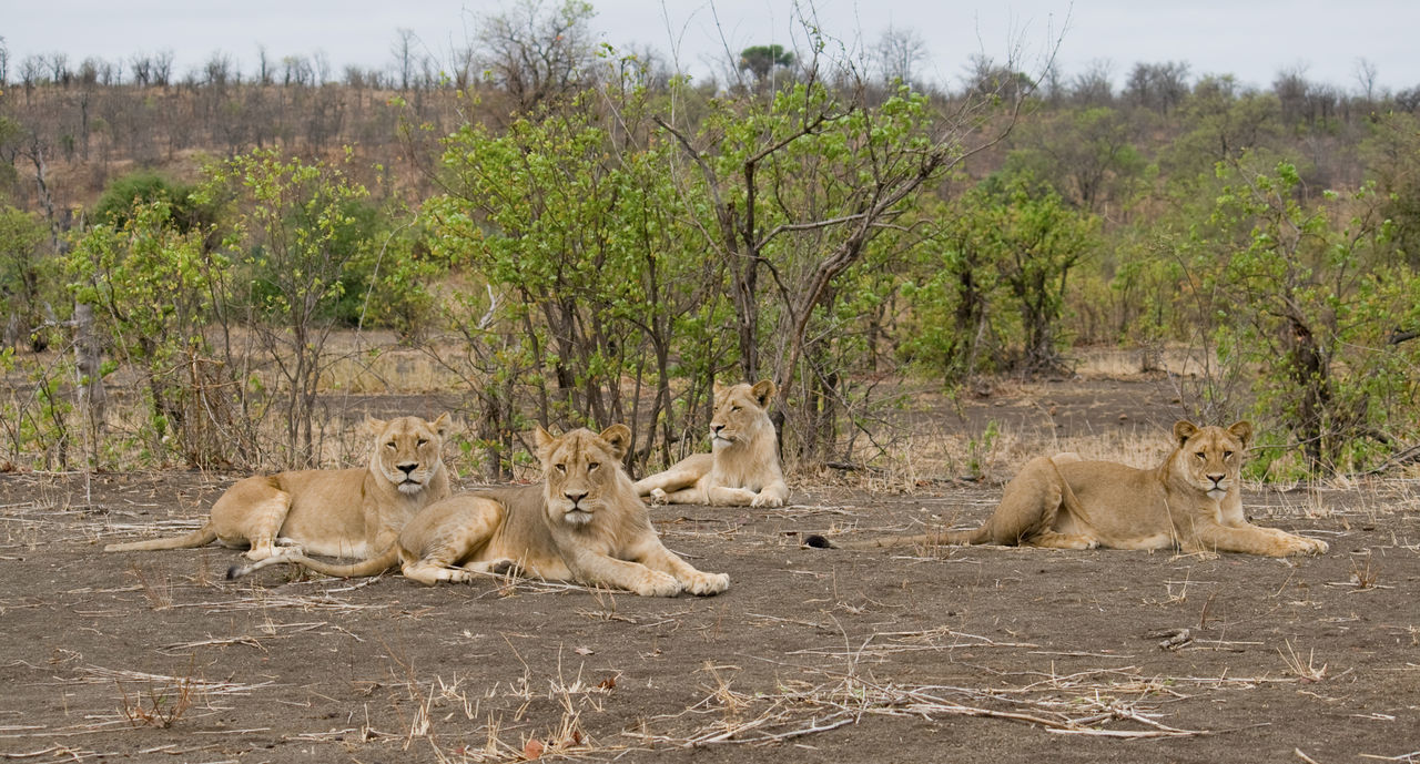 Africa Animal Family Animal Themes Animal Wildlife Animals In The Wild Beauty In Nature Day Group Group Of Lions Kruger Kruger Park Landscape Lions Mammal Nature No People Outdoors Pack Posing South Africa Southern Africa Tree Wildlife Wildlife & Nature Wildlife Photography