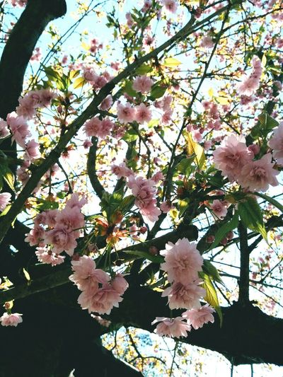 Spring but Eyeem Is Dead EyeEm Is Dead , Follow Me On Instagram ❤ instagr.am/jeanette_j_c_ Tree Growth Low Angle View Branch Nature Beauty In Nature Springtime Blossom Fragility No People Outdoors Day Close-up Flower Cherry Tree Freshness Sky Sakura Details Of My Life Warm Atmosphere Vienna