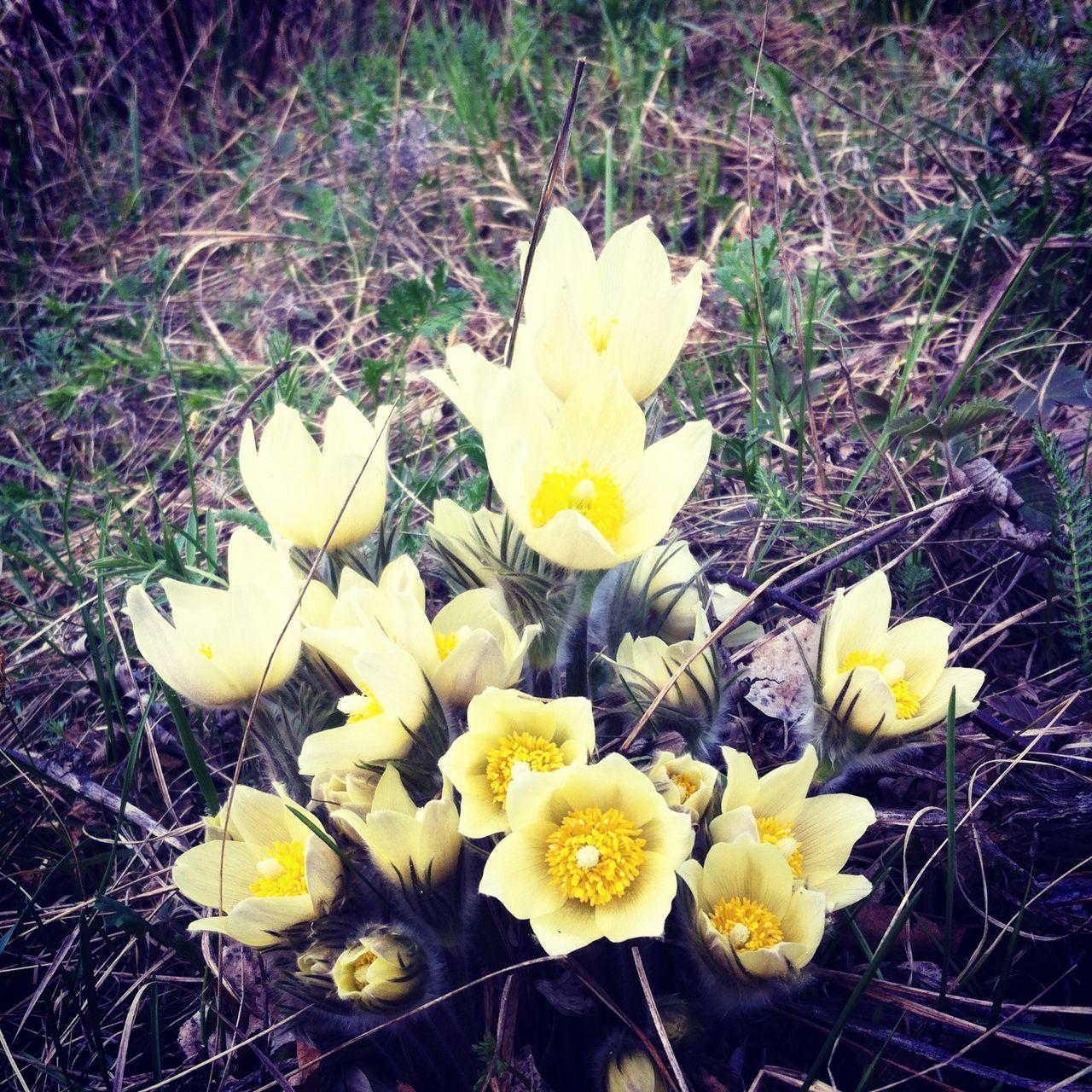Первые подснежники Flowers