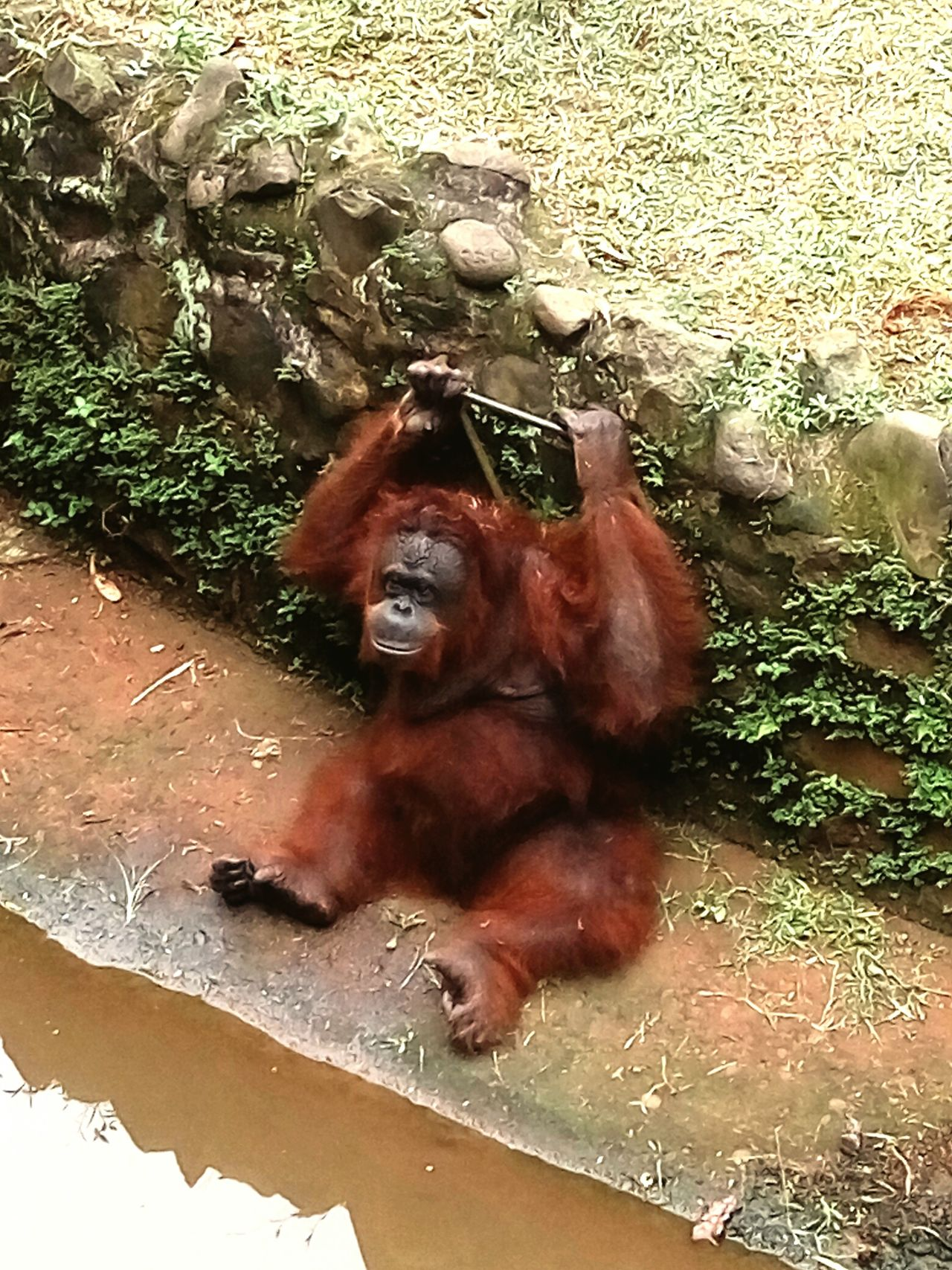 Orangutan No People Day Animal Themes Animals In The Wild One Animal Animal Wildlife Nature Outdoors Mammal Close-up INDONESIA Endangered Species