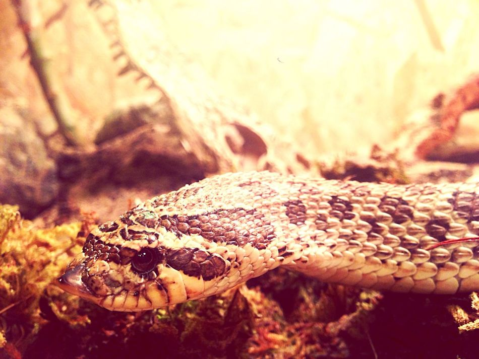 Animals Hakennasennatter Alias Hognose Nice Snake LGPR🌴 Gangsters Paradise ACAB I Am Watching You Nature On Your Doorstep Nature