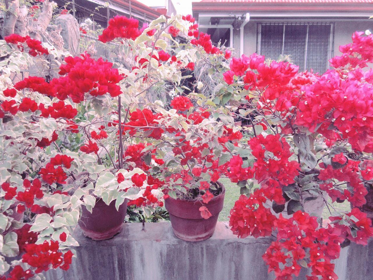 Bougainvillea Village Flowers Bougainvilleas Cebu Talamban Philippines Pretty Paradise