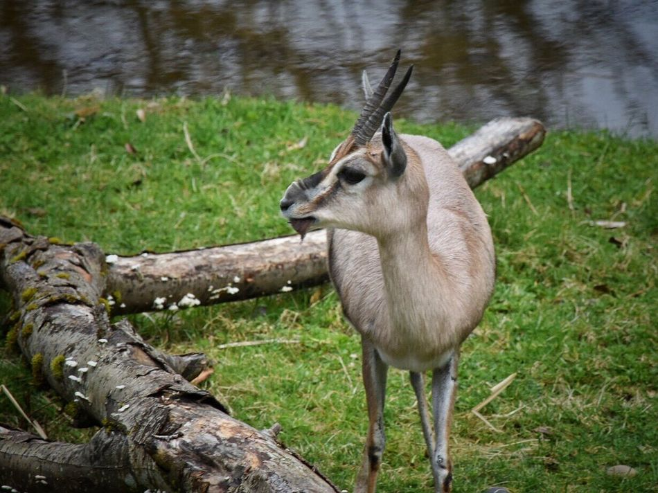Animal Themes Mammal One Animal No People Grass Domestic Animals Animals In The Wild Nature Day Outdoors Gazelle Antelope Zoo Animal_collection Animal Photography Zoo Animals  Animals In Captivity Animal Nature Safari Animals High Angle View