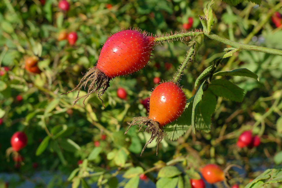 Beauty In Nature Behaarte Fruch Busch Close-up Day Focus On Foreground Food Food And Drink Freshness Fruit Growth Hagebutte  Hips Nature No People Outdoors Plant Red Rose Hip Rose Hips Rosé Rot Rote Frucht Strauch Tree