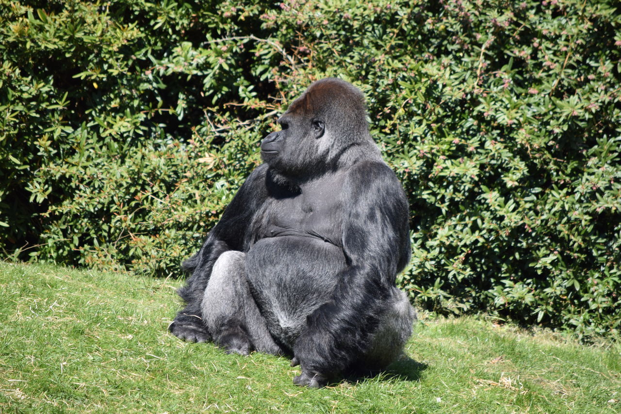 gorilla Animal Themes Animal Wildlife Animals In The Wild Ape Beauval Chimpanzee Day Female Gorilla Gorille Grass Green Male Mammal Monkey Nature No People One Animal Outdoors Power Primate Sitting Strong Tree Zoo