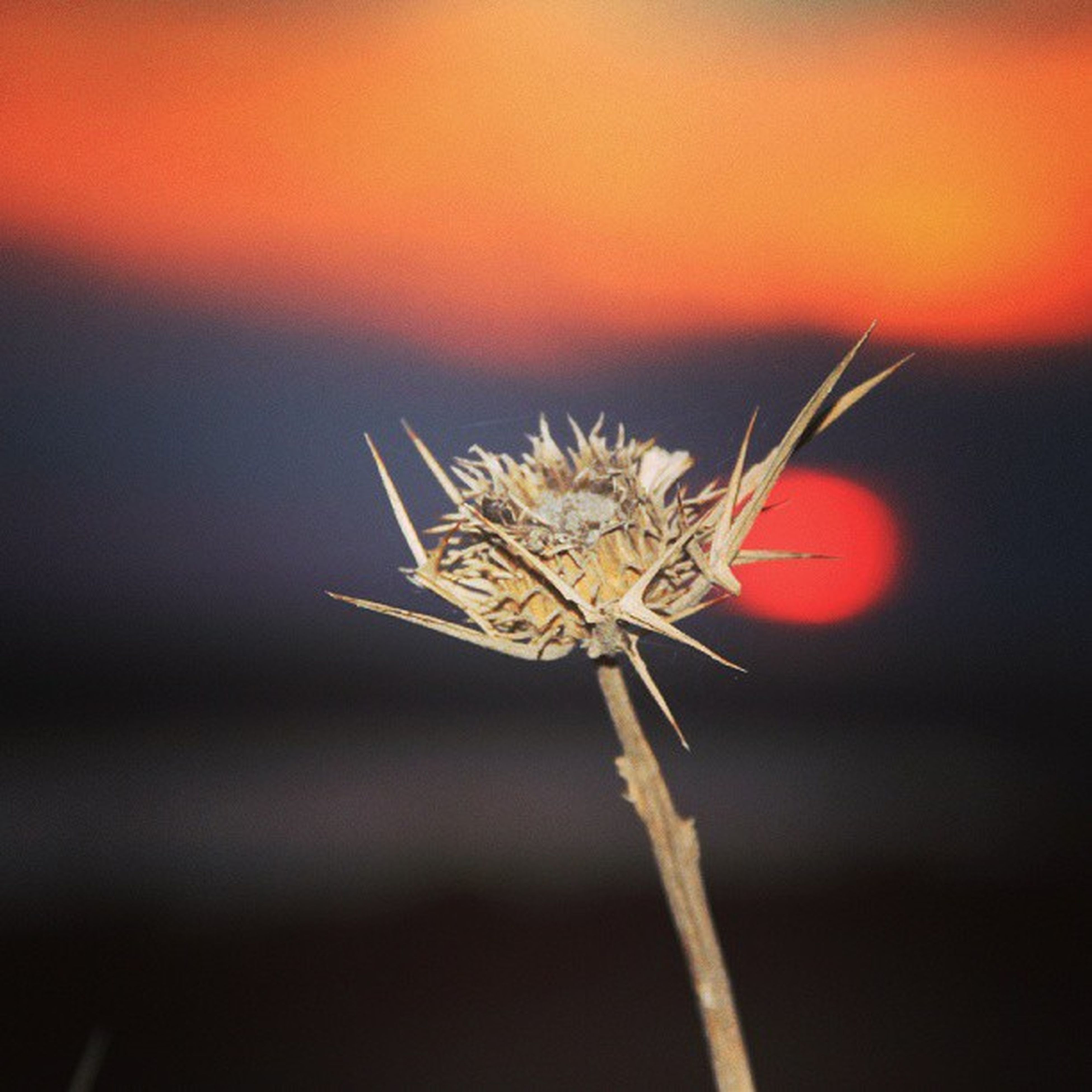 sunset, close-up, focus on foreground, flower, orange color, stem, beauty in nature, fragility, nature, red, plant, selective focus, growth, single flower, no people, outdoors, freshness, flower head, dry, tranquility
