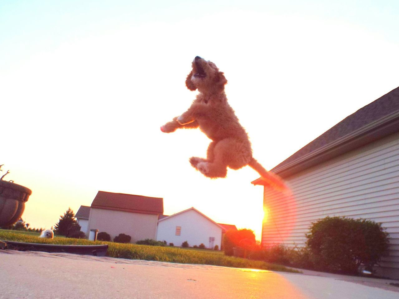 Low Angle View Of Jumping Dog By Houses Against Clear Sky At Sunset
