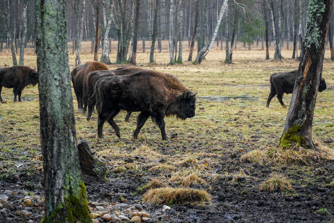 Group of european bisons / buffaloes walking in wildlife reserve American Bison Animal Themes Bison Bisons Buffalo Buffaloes Dirt Domestic Animals European  Family Field Grass Grazing Group Of Animals Mammal Mud Nature Pasiliu Stumbrynas Rain Reserve Tree Tribe Wild Wildlife Wildlife Photography