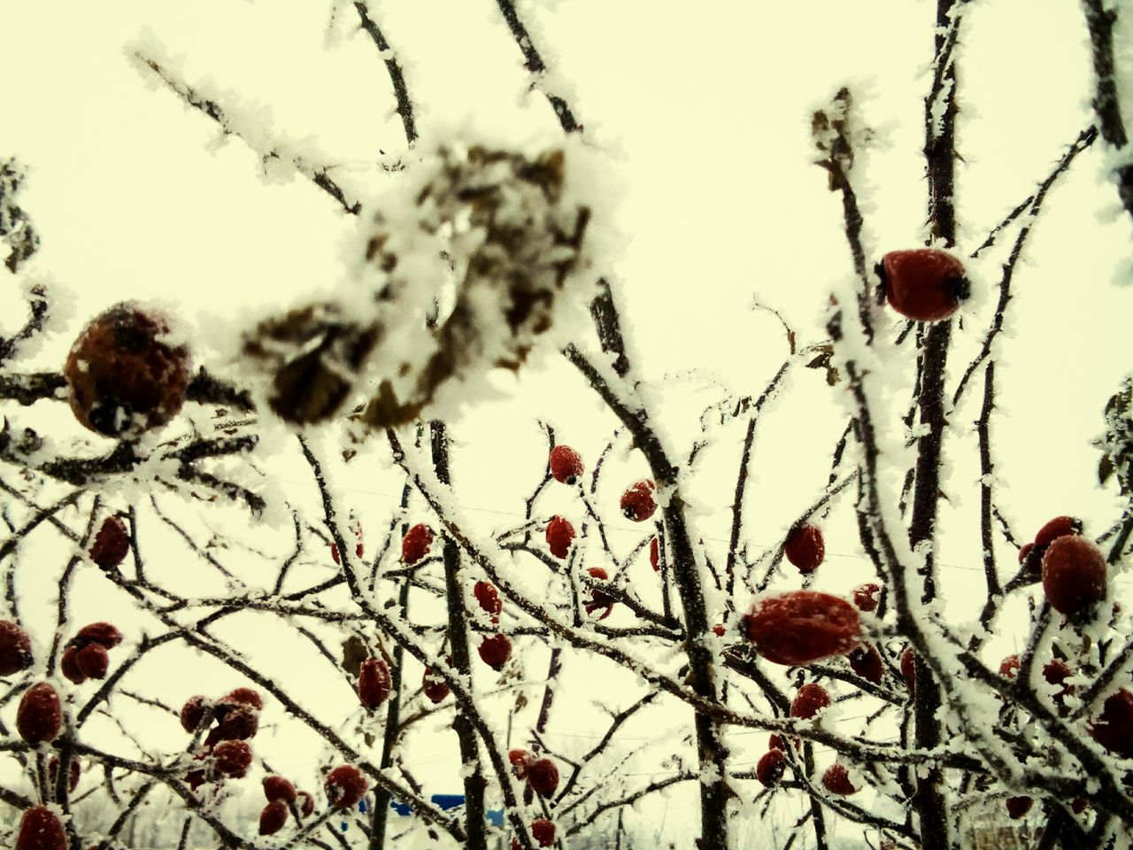 Winter Cold Temperature Snow Tree Nature Branch Outdoors Weather No People Growth Beauty In Nature Frost Frozen Day Twig Close-up Rose Hip Bare Tree Sky Frozen Snowing Snowflake Beauty In Nature Growth Nature