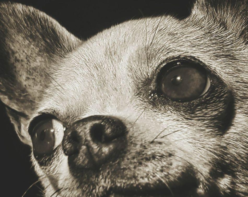 Delphine treat guru 🏯🍖 Pets Domestic Animals One Animal Animal Themes Animal Eye Eyeemdogphoto Eyeemdoglover Dogs Of EyeEm Chihuahua Close-up Dog Life Doglifestyle Chihuahuaoftheday Blackandwhite Dogblackandwhite. LittleDogs DogLove Eyeemdog Eyeemblack&white Dog Animal Head  Animal Mammal Bestfriend Pets Of Eyeem