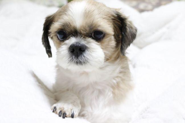 Puppy Dog 쉬츠 강아지 아련아련 초코