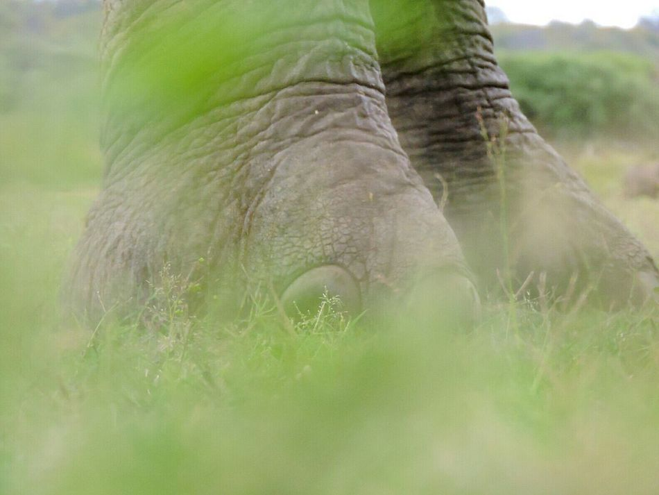 Outdoors Grass Green Color Nature No People Beauty In Nature Elephant Feet Elephant Elephant Skin Mammal Animal Wildlife Amateur Photographer Africa Bushveld Beautiful World Big 5 Amateur Shot Kapama Animals In The Wild Focus On Backround Blurry Foreground