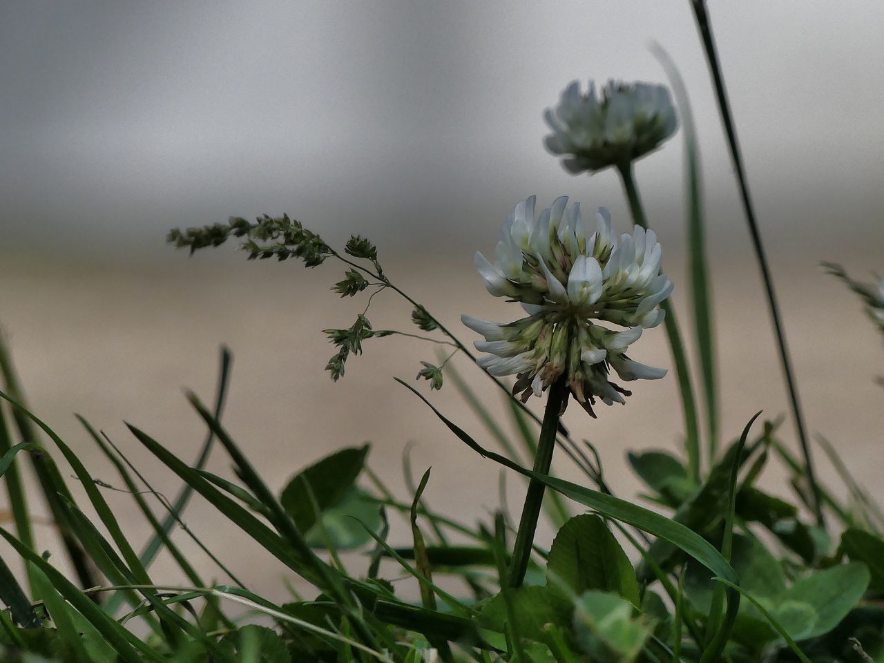 At The Edge Of The Road Clover Blossom Plant Growth Summertime Nature Flower Day No People Outdoors Beauty In Nature Close-up Grass Fragility Flower Head Freshness Check This Out Moment