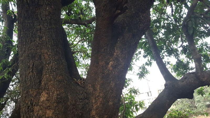 Mango Tree Tree Large Tree Trunk Wood Nature