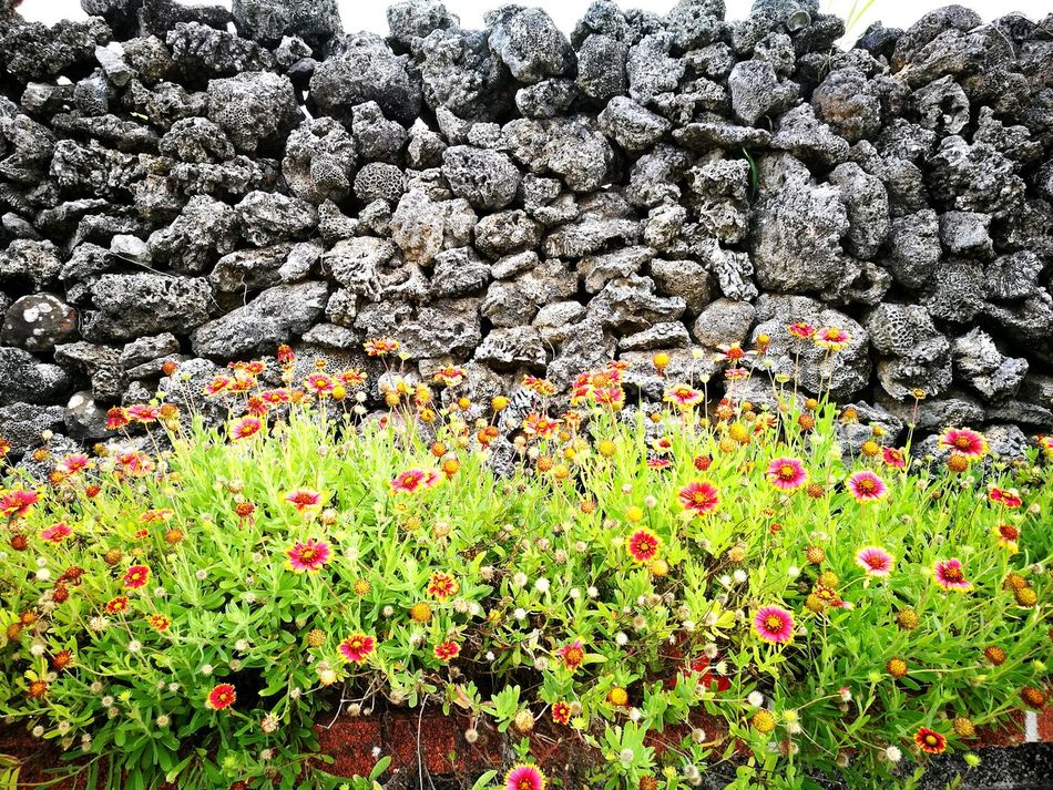 Gaillardia pulchella Coral Stone Penghu Wall No People Nature Outdoors Flower Beauty In Nature
