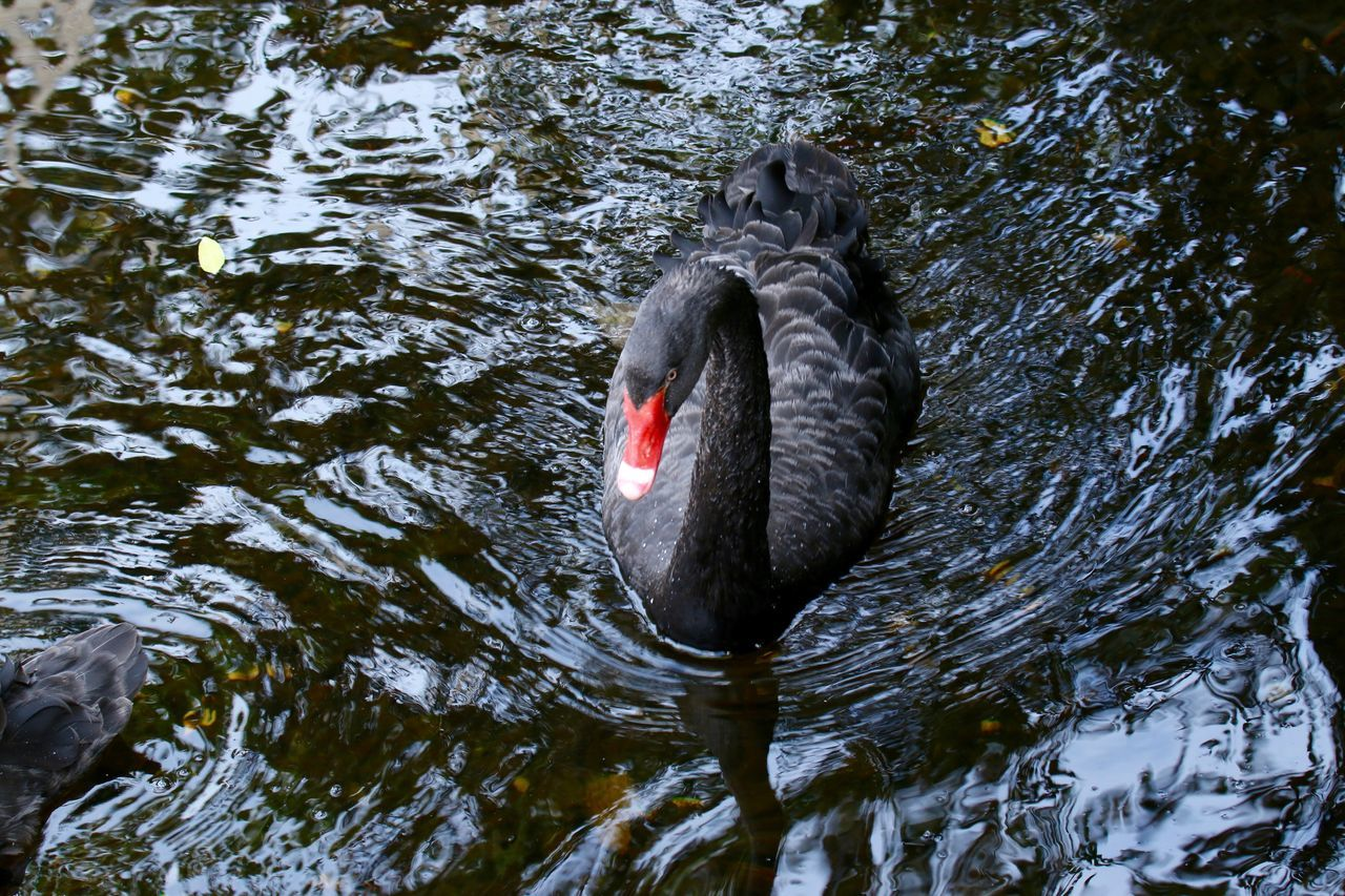 Animal Themes Animals In The Wild Bird Black Swan Black Swans Day Lake Nature One Animal Outdoors Reflection Rippled Schwan  Schwäne Swan Swans Swimming Water Water Bird Waterfront Wildlife