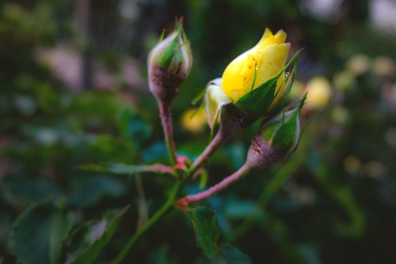 Close-up Beauty In Nature Plant Freshness Roses, Flowers, Nature, Garden, Bouquet, Love, Rose - Flower Rose🌹 Flower Flowers, Nature And Beauty Flowers,Plants & Garden Rose Collection Rose Flower Yellow Rose