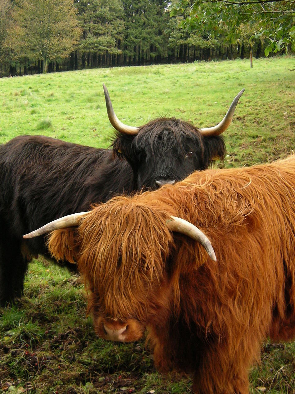 Animal Themes Cattle Cattle Farm Cattle Ranch Cattlefarm Day Domestic Animals Field Grass Highland Cattle Highland Cattle Horned Livestock Mammal Nature No People One Animal Outdoors Schottisches Hochlandrind Schottischeshochlandrind
