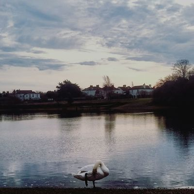 Sky Bird Water Animals In The Wild Reflection Cloud - Sky Nature Portsmouthphotographer Beauty In Nature Tranquility Peaceful Swans On The Lake