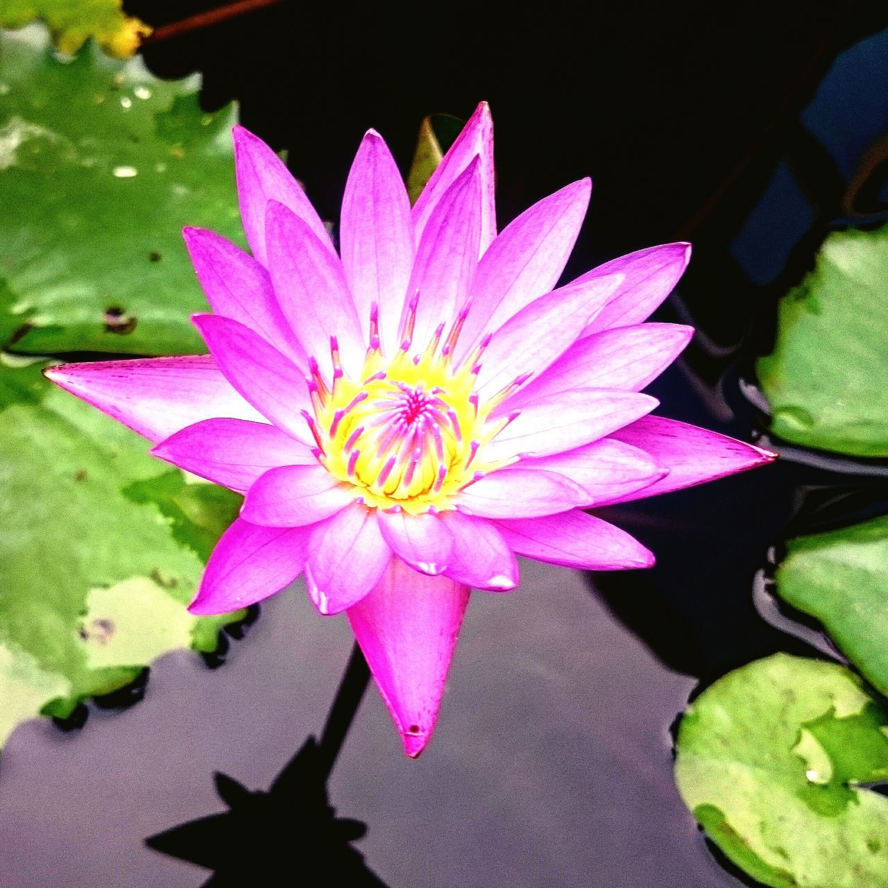flower, petal, beauty in nature, fragility, nature, flower head, freshness, growth, plant, leaf, water lily, high angle view, lotus water lily, day, no people, pink color, outdoors, lotus, close-up, blooming, water, lily pad