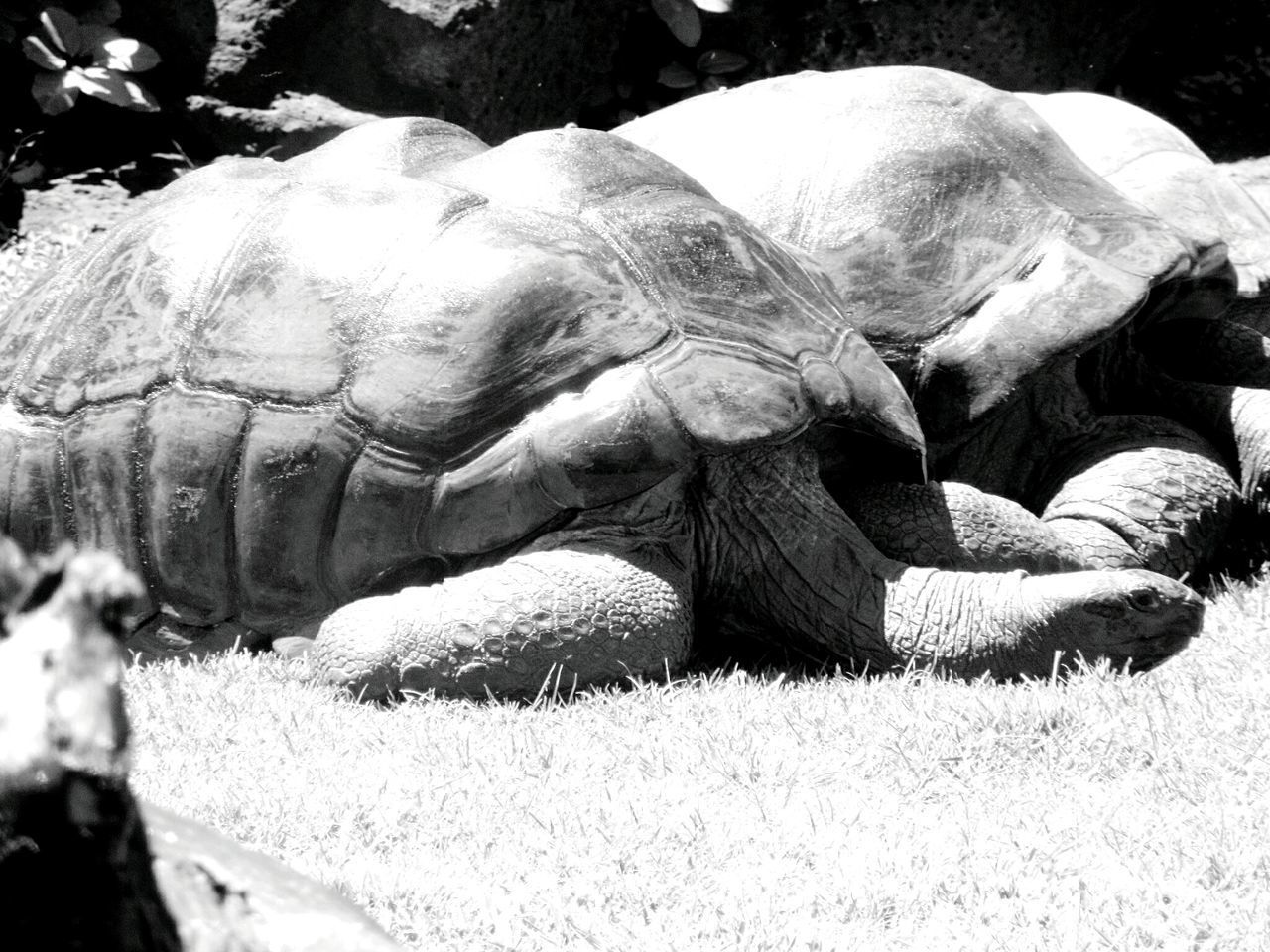 Reptile Animal Themes Tortoise Tortoise Shell Animals In The Wild One Animal Close-up Grass Nature Zoo Animals  Reptile Photography Reptiles Of Eyeem Reptile Collection Backgrounds Sunlight Grazing Black And White Photography Black And White Collection  Reptile Animals In The Wild Giant Tortoise Honolulu Zoo Aldabra Giant Tortoise