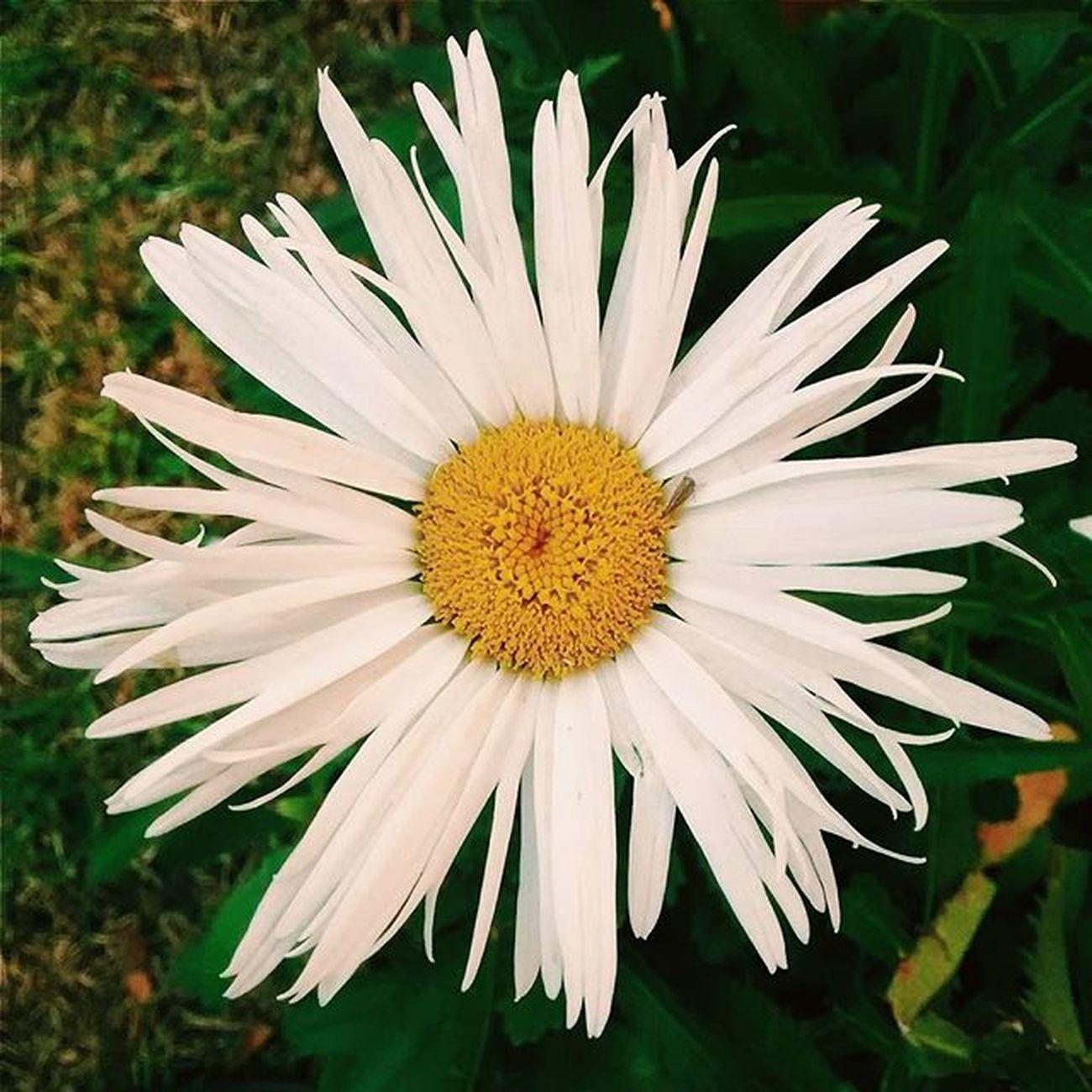 Flowers Flowerstagram Flower Love Nature Naturelovers Petals Texture Instagood Instamoment Black Daisyflower Margarita Like Loveit Helovesme Photooftheday Color Followme Like4like Likeforlike Instalove Vscocam Likeit F4F